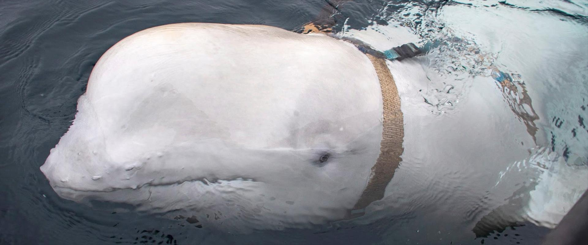 לווייתן או מרגל של הצבא האדום