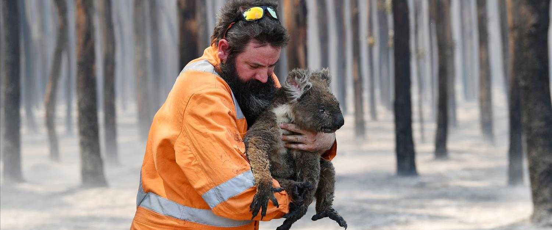 קואלה מפונה מיער שנשרף באי הקנגורו באוסטרליה