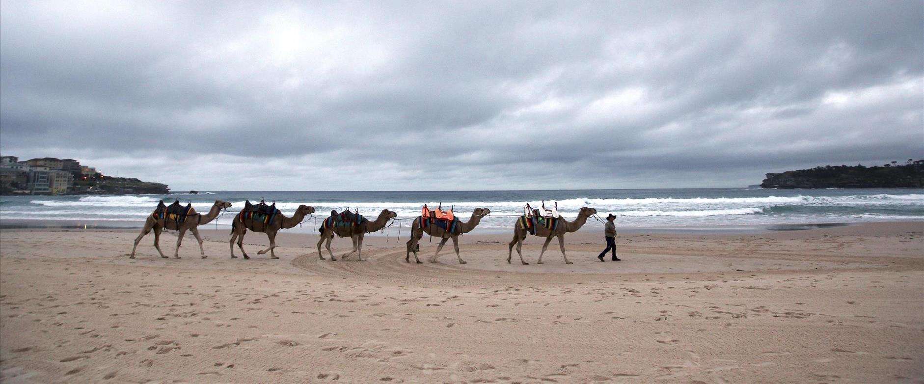 גמלים באוסטרליה