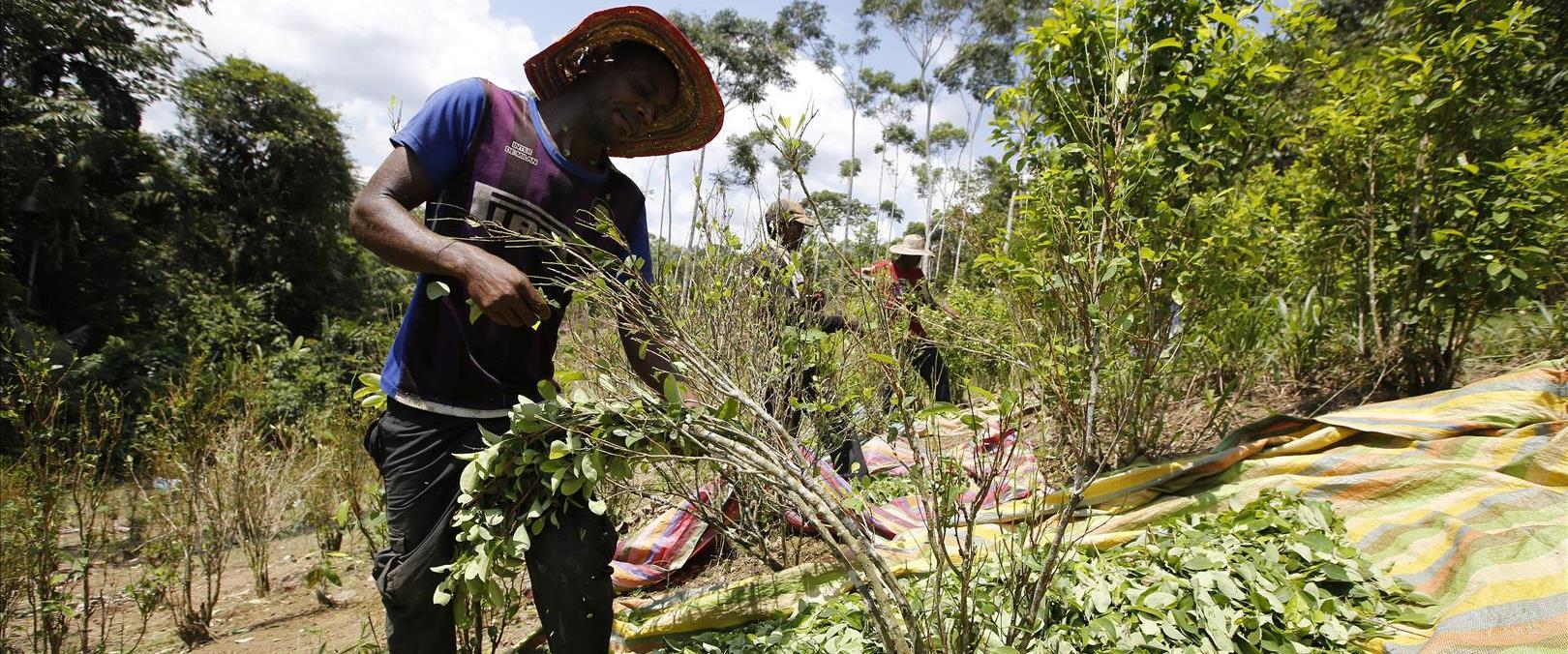 גידול עלי קוקה בקולומביה