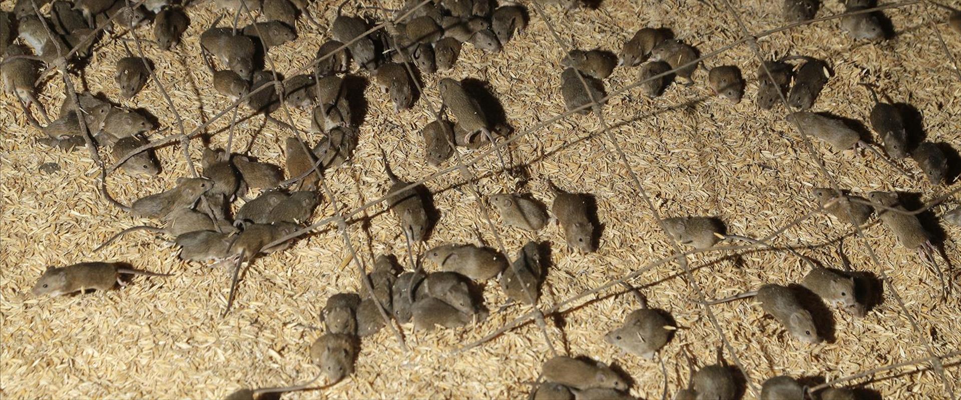 מכת העכברים באוסטרליה