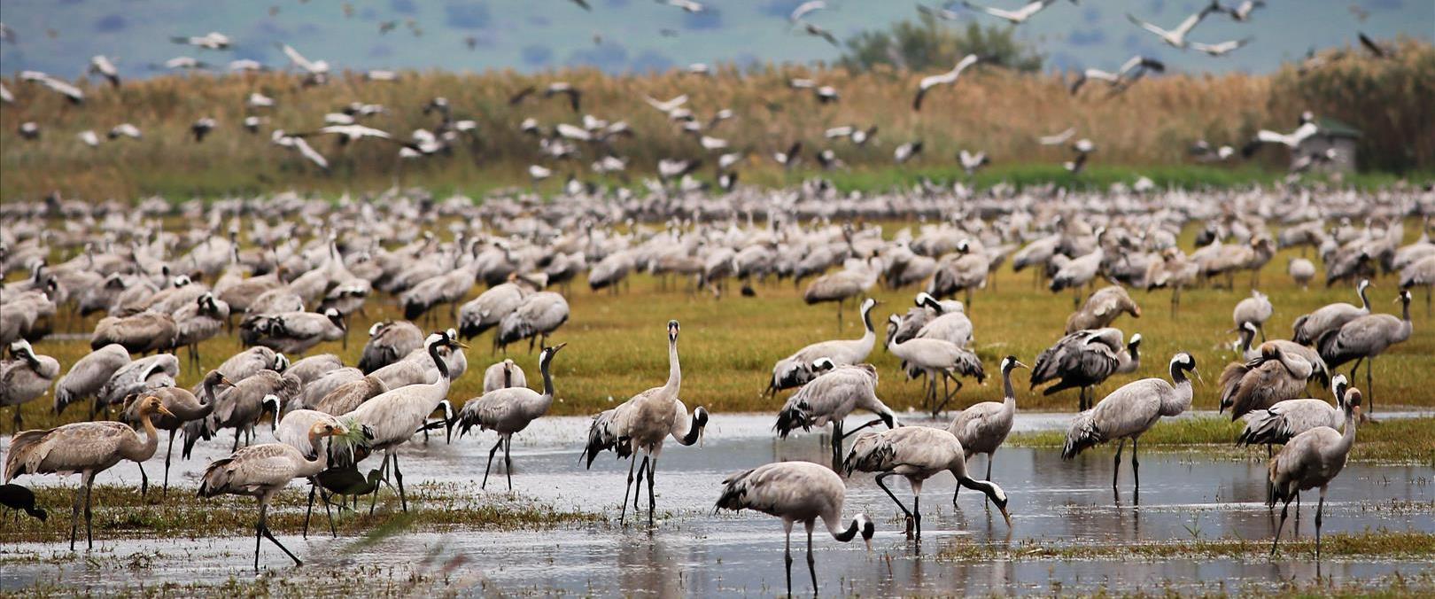 ציפורים נוחתות בעמק החולה