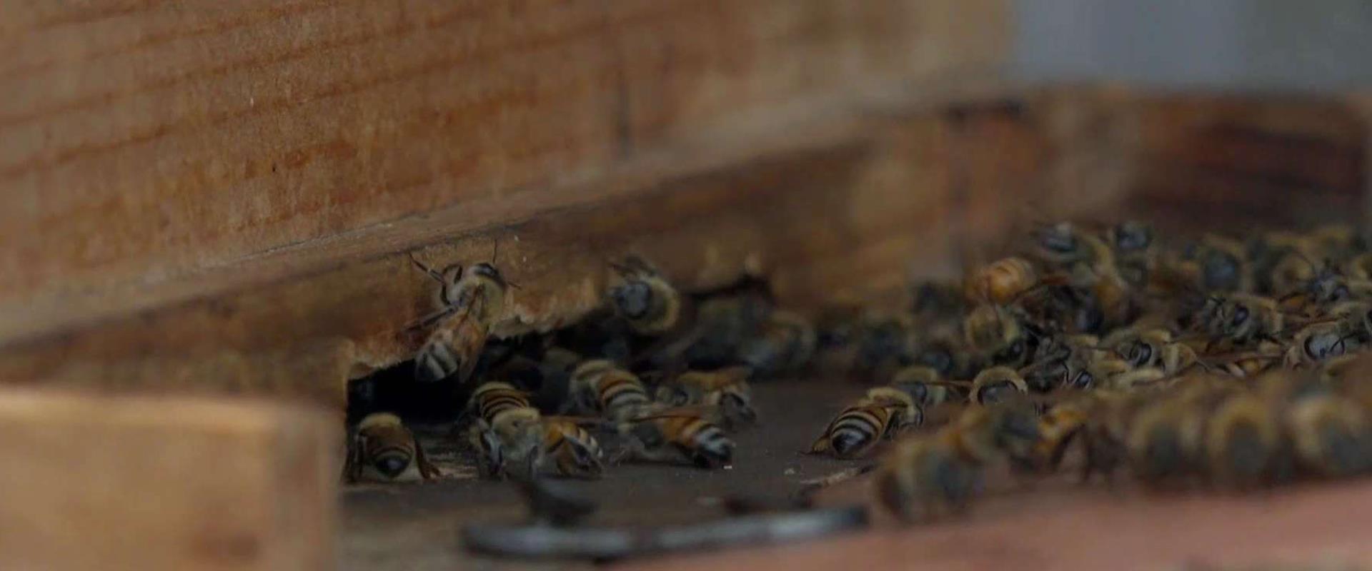 הדבורים ששינו את חייהן של הנשים באבו תור